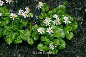 White Marsh Marigold, Caltha leptosepala, at Lake Twentytwo