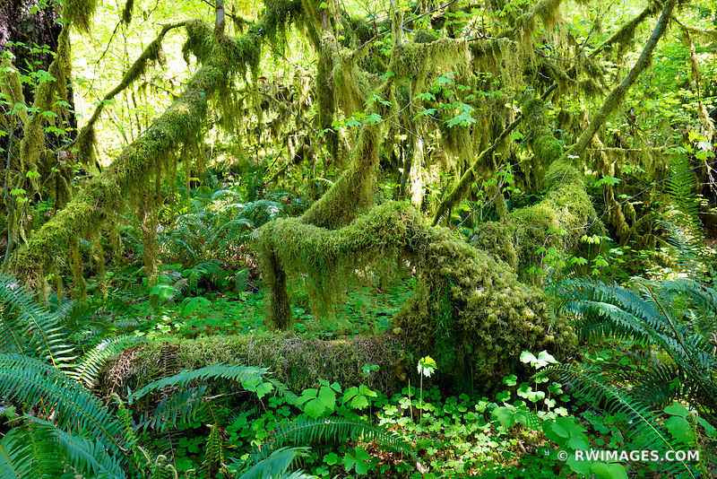 HOH RAINFOREST OLYMPIC NATIONAL PARK