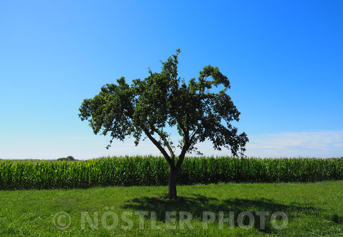 A tree and a corn field