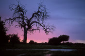 tree at dusk, Hwange National Park, Zimbabwe