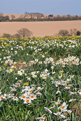Ron Scamp's daffodil fields, Cornwall. © Jo Whitworth