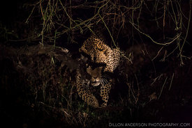 Leopard in the South Luangwa National Park, Zambia.