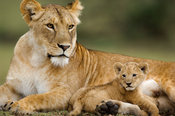 Lion with cub (Panthero leo), Serengeti National Park, Tanzania