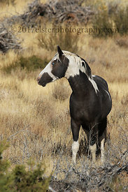 A wild stallion near Steens Mountain, Oregon. This one has been nicknamed Renegade.
