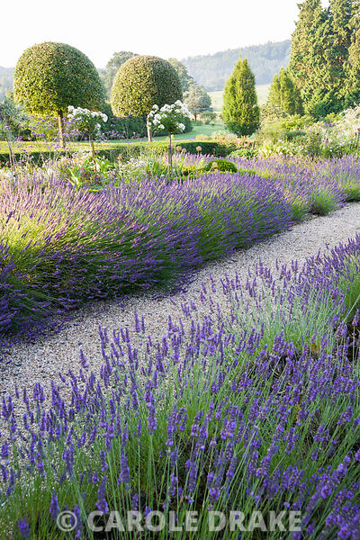 Summer borders in the Millennium Garden designed by Xa Tollemache, edged with Lavandula × intermedia 'Grosso'. Castle Hill, B...