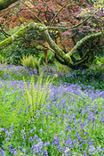 Bluebells and ferns carpet the ground in the South Garden below magnolias, acers and rhododendrons. Trewidden Garden, nr Penz...