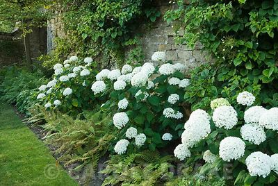 A border of white mop headed hydrangeas interspersed with ferns runs along the front of the house. Yews Farm, Martock, Somers...