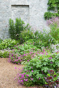 The Walled Garden planted with purples, pinks and blues including Geranium Patricia = 'Brempat', galega, thalictrums, campanu...