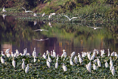 Egrets (sp.) in wetlands near the rural town of Bantala, East Kolkata Wetlands, Kolkata, India.