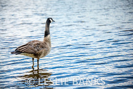 Canada goose in the lake