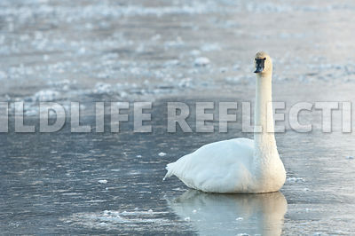 trumpeter_swan_sitting_ice20120101_0004