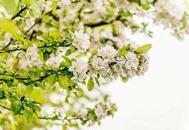 Apple blossoms 1