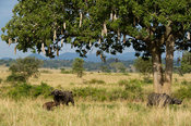 Buffalo with calf standing at a sausage tree, Syncerus caffer, Kidepo Valley National Park, Uganda