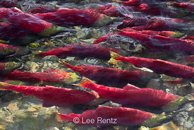 Massive Adams River Sockeye Salmon Migration