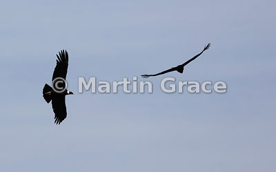 Two Andean Condors (Vultur gryphus) in flight, Patagonia, Chile, Patagonia, Chile