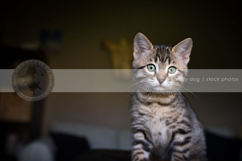 portrait of cute tabby kitten staring with minimal background