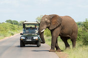 Tourist vehicle and elephant on the road, Loxodonta africana, Kruger National Park, South Africa