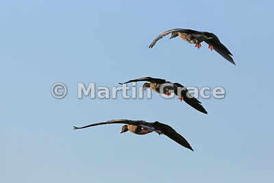 Three Pink-Footed Geese (Anser brachyrhynchos) flying into the late afternoon winter sunshine, Lancashire, England