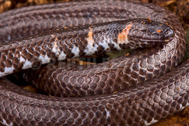 Cylindrophis rufus
