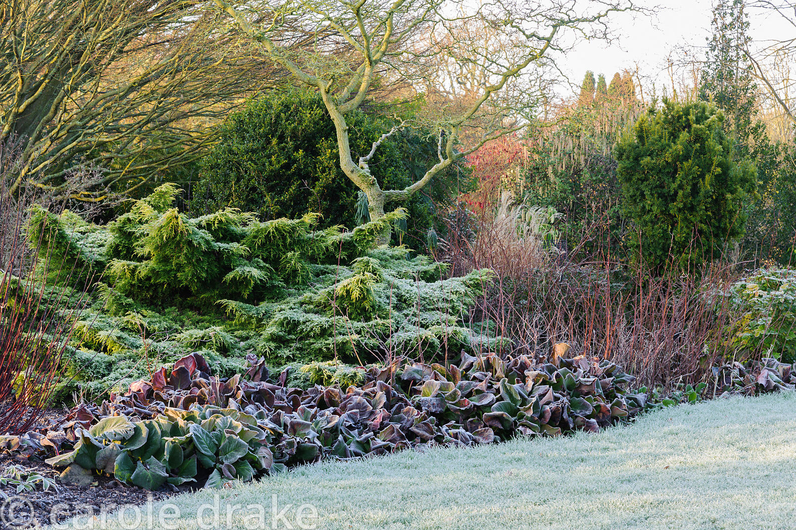Frosted bergenia leaves with cornus and evergreens. Sir Harold Hillier Gardens, Ampfield, Romsey, Hants, UK