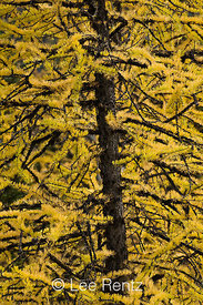 Alpine Larch (aka Subalpine Larch or Lyall's Larch) (Larix lyallii), its deciduous needles golden in autumn, in the high suba...