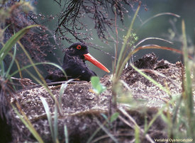 November - Variable Oystercatcher