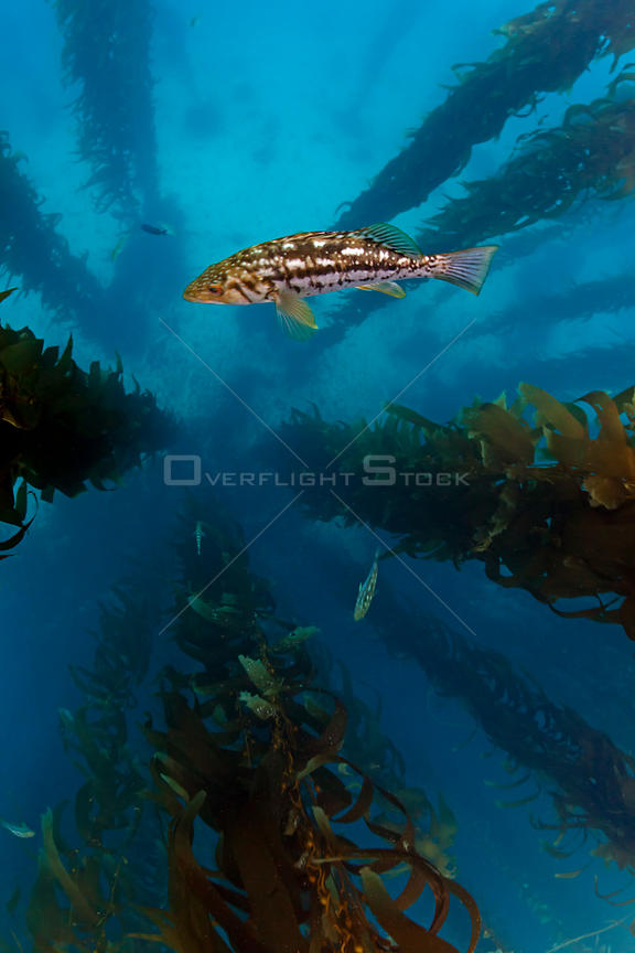 Kelp bass / Rock sea bass (Paralabrax clathratus) and Giant kelp (Macrocystis pyrifera) forest, San Benitos Islands, Baja Cal...