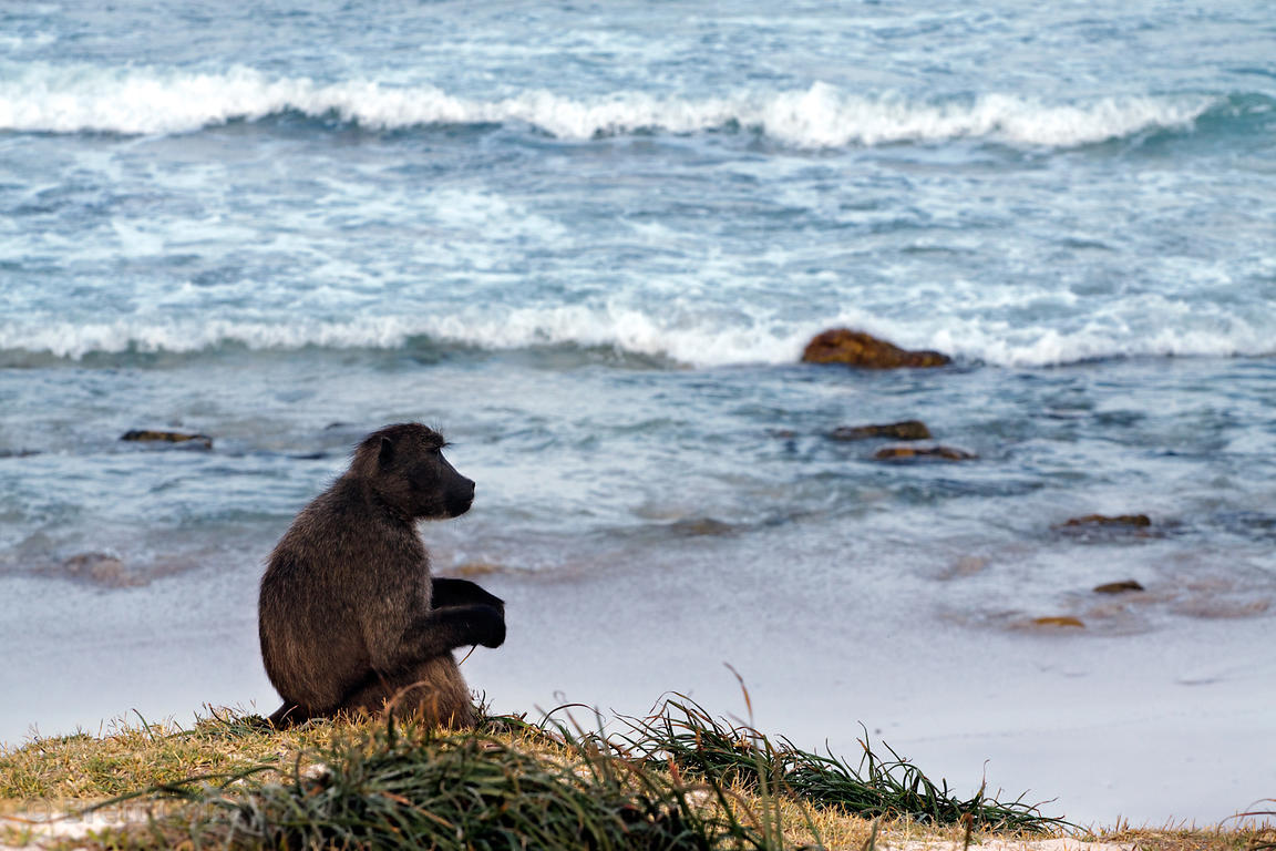A baboon from the Buffels Bay troop sits near the beach and the Atlantic Ocean at Buffels Bay, Cape Peninsula, South Africa.