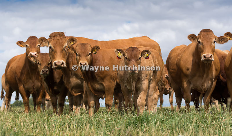 Herd of Limousin beef cattle on a pasture, North Yorkshire, UK.
