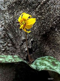 Trout Lily in tree