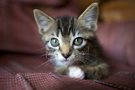 Brown Tabby Kitten with Grey Eyes