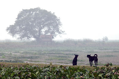 Two stray dogs fight on a remote footpath, East Kolkata Wetlands, Kolkata, India.