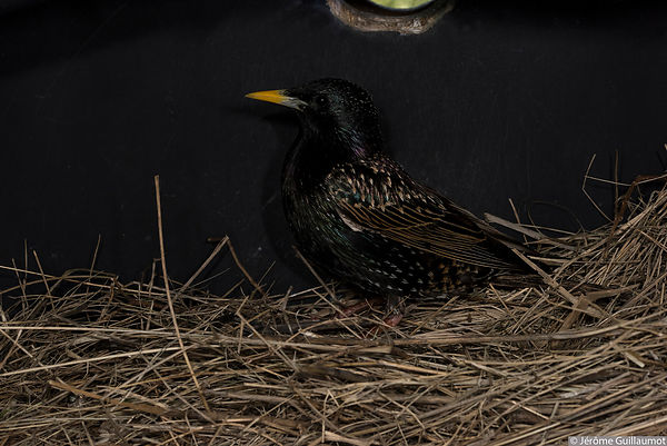 Starlings have laid 5 eggs in the Roller nestbox