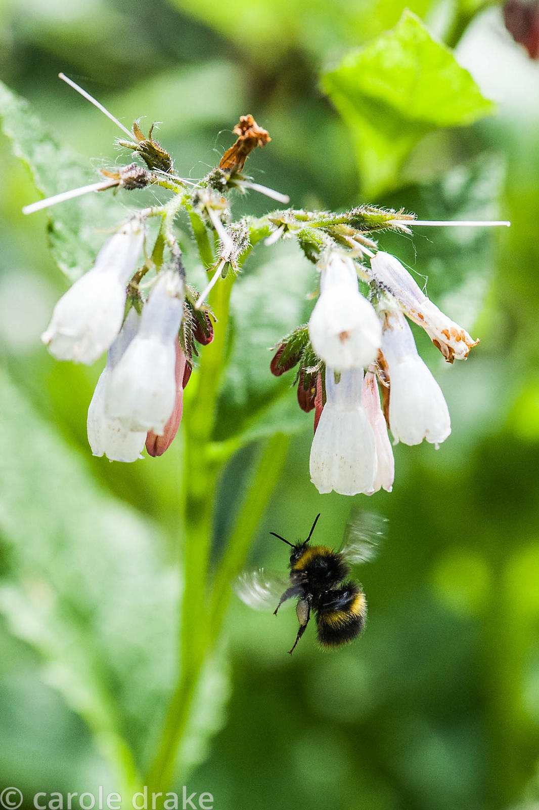 Bee on comfrey.