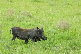 Female warthog with young