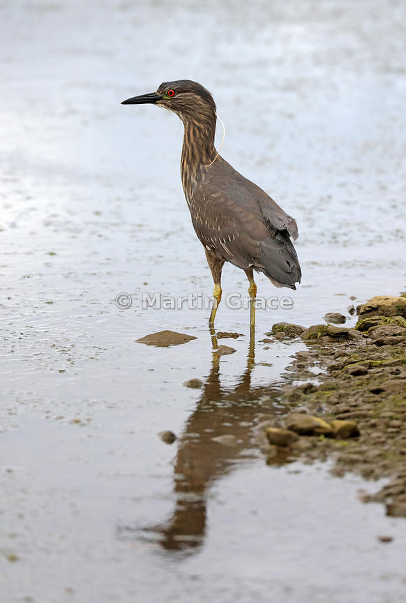 Juvenile Black-Crowned Night Heron (Black-Capped Night Heron) (Nycticorax nycticorax), Ushuaia, Argentina