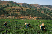 Tea picking in a tea plantation, Byumba, Rwanda