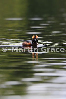 Slavonian or Horned Grebe (Podiceps auritus), Inverness-shire, Scotland, United Kingdom
