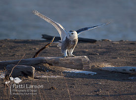 The Snowy Owl Has Landed