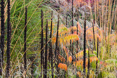 Multicoloured foliage of Rhus typhina 'Dissecta', upright Molinia caerulea 'Zuneigung', blackened seedheads of Digitalis ferruginea, and feathery miscanthus flowers. Lady Farm, Chelwood, Somerset, UK