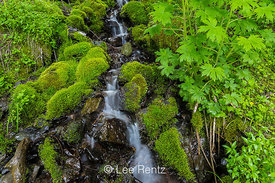 Mossy Rocks Bordering a Tiny Stream in Olympic National Forest