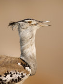 Kori bustard close-up portrait