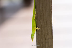 A green anole lizard in Miami, Florida.