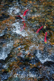 Sockeye Salmon in Fast Current along the Adams River