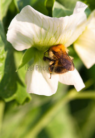 A bumble bee collecting nector from a garden pea flower.