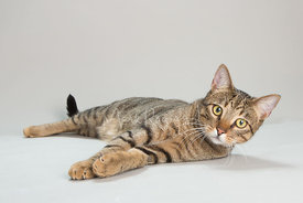A Brown Striped Tabby Cat Lying on its Side