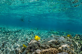 Yellow Tang and Snorkelers along Coral Reef off Big Island of Hawaii
