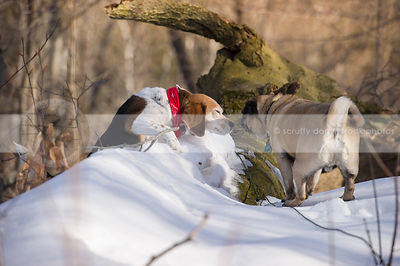 beagle and pug together  in winter forest