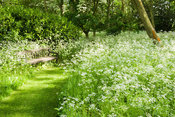 Woodland garden is frothy with cow parsley and long grass in late spring. Earlier in the year the ground is carpeted with nat...