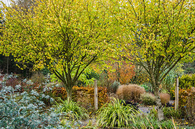 A pair of Ulmus glabra 'Lutescens' mark the transition from the Hot Garden to the Foliage Garden at RHS Rosemoor.